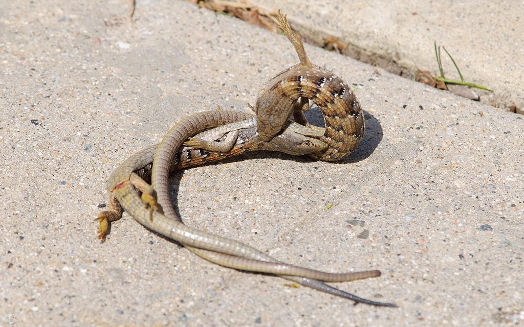 Lizards, The* Lizards - Nafum K.